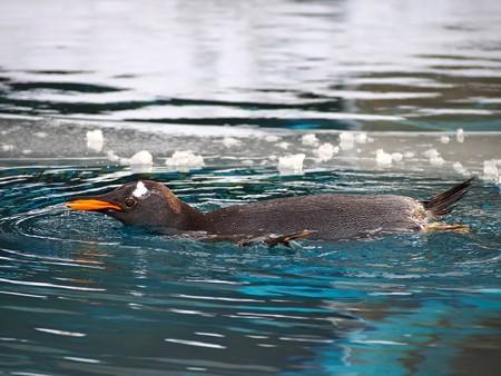 20140124 旭山 ペンギンプール03