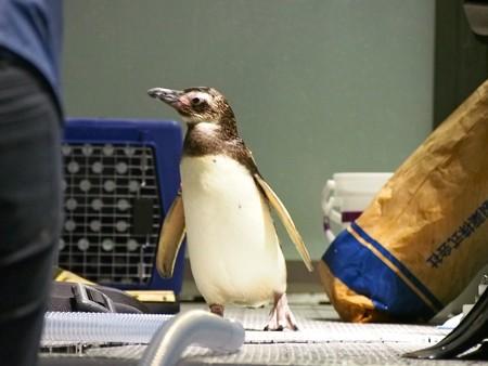 20140301 すみだ ペンギンたち11