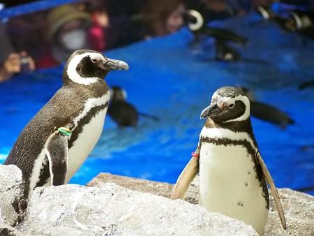 20140301 すみだ ペンギンたち01