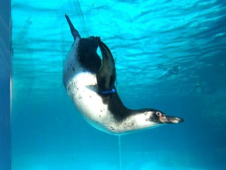 20130515 大洗 ペンギンプール08
