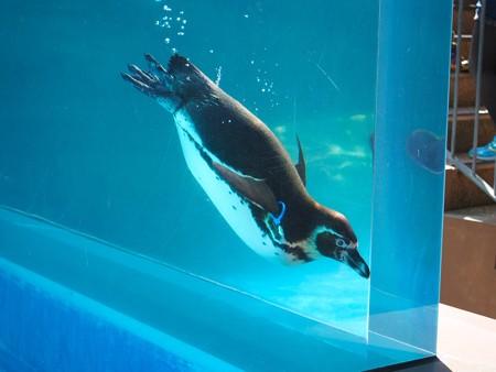 20130515 大洗 ペンギンプール07