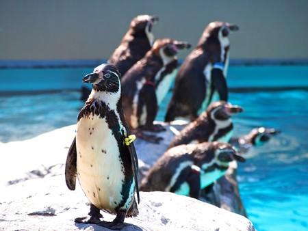 20130515 大洗 ペンギンプール04