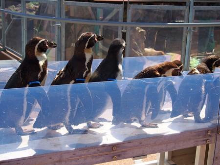 20140315 大洗 ペンギンのお散歩07
