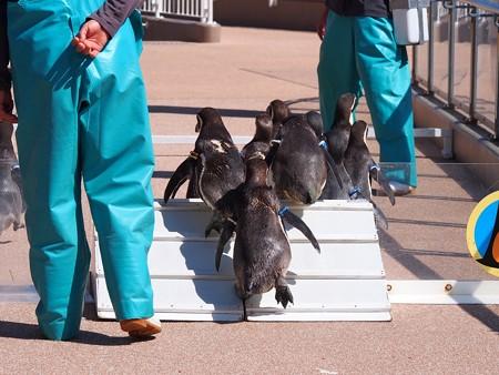 20140315 大洗 ペンギンのお散歩17