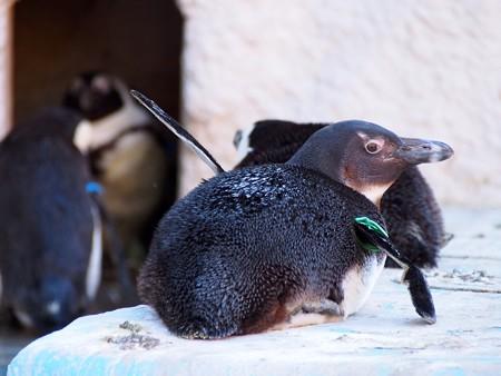 20140321 上野 ペンギン達06