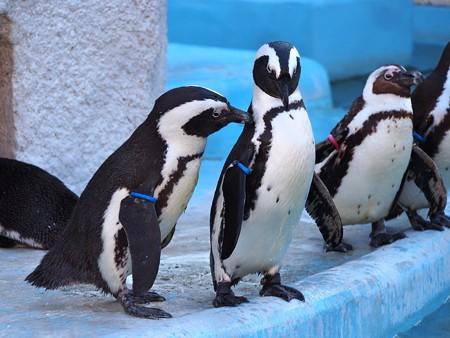 20140321 上野 ペンギン達05