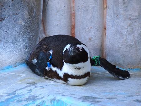 20140321 上野 ペンギン達03