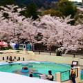 写真: 20140405 京都Z 桜のペンギンプール01