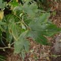 Photos: ハチジョウクサイチゴ(ビロードカジイチゴ)