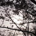 Photos: 影桜