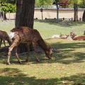 写真: 奈良公園の鹿
