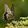 並のアゲハ蝶
