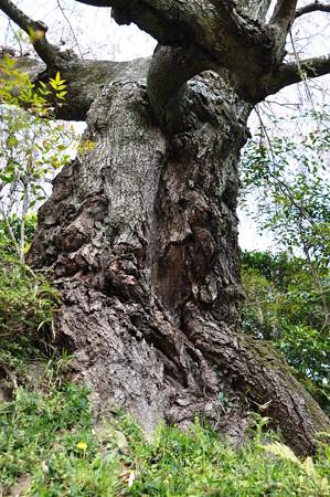 樹齢250年の幹