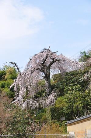 遍照院の枝垂桜遠景