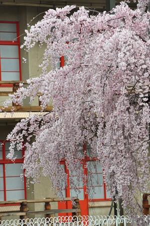 天理教会本部の大しだれ桜ピンク