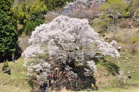 仏隆寺千年桜1