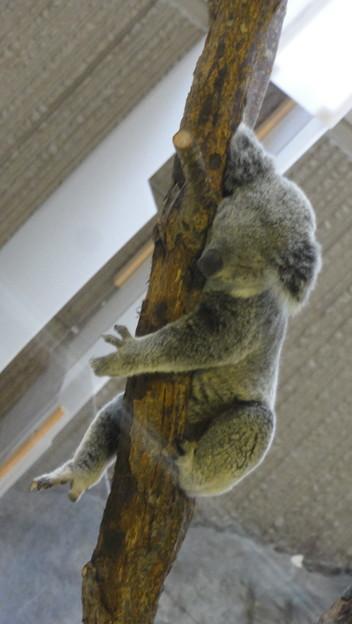 コアラものんびり