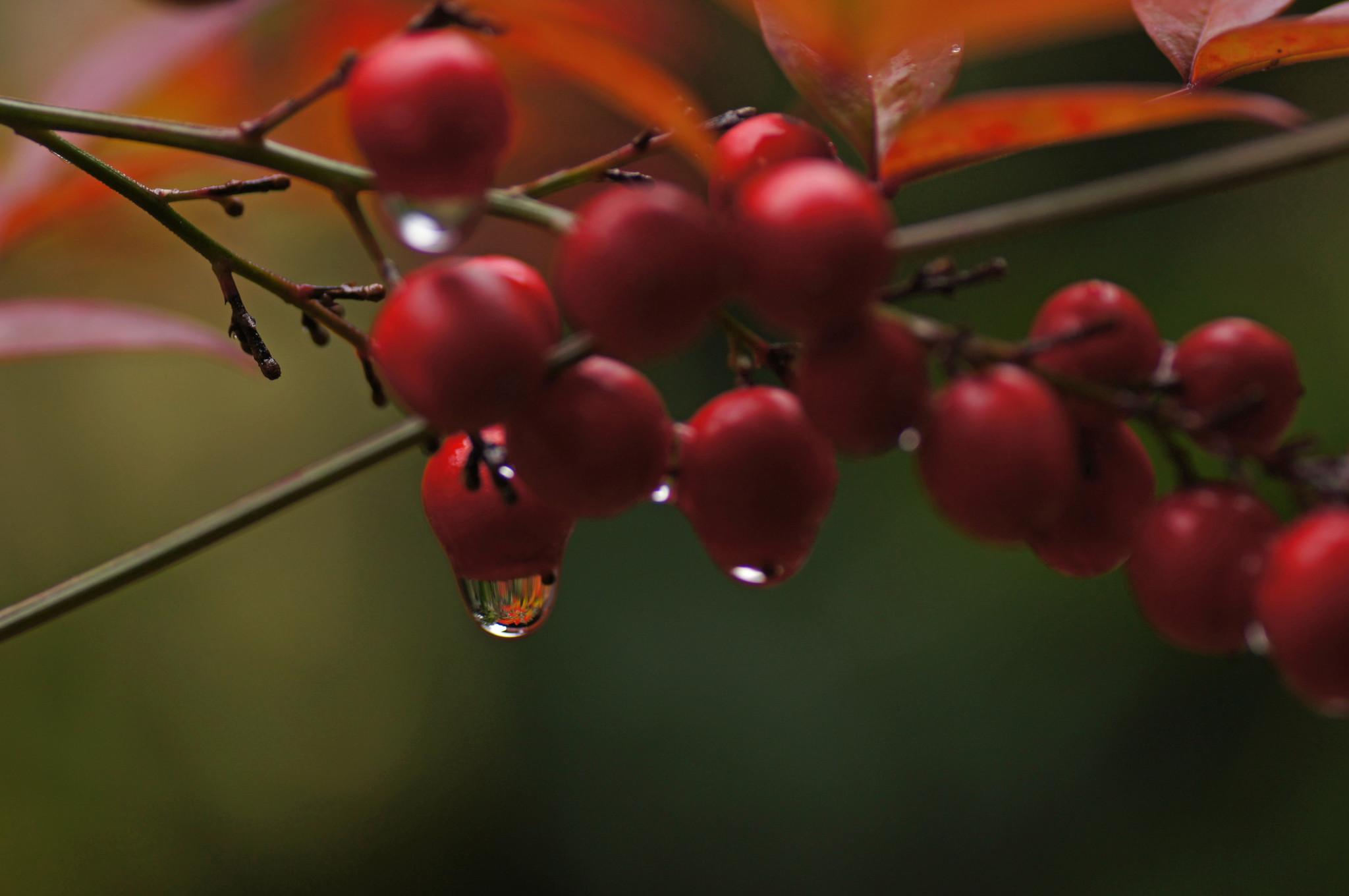 雫の中の紅葉