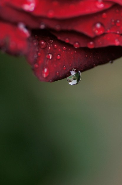 Water drop of Rose