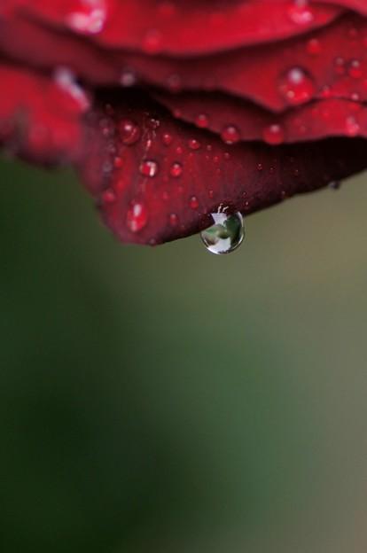 Water drop of Rose