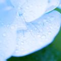 Photos: 涼しさを求めて 水滴と紫陽花 2