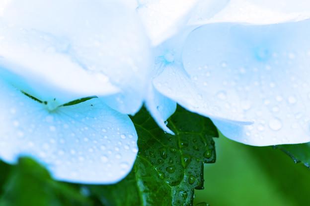 涼しさを求めて 水滴と紫陽花 3