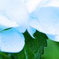 Photos: 涼しさを求めて 水滴と紫陽花 3