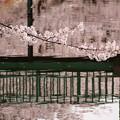 2013桜_大宮公園_1