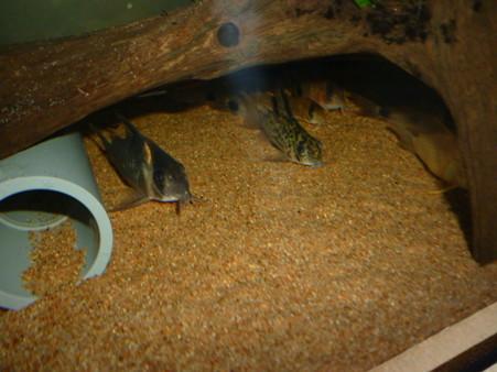20120824 60cmコリドラス水槽のコリドラス達