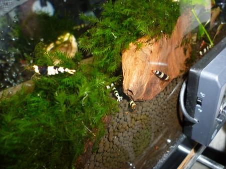 20120824 60cmエビ水槽のビー達