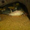 Photos: 20121026 60cmコリドラス水槽のコリドラス達