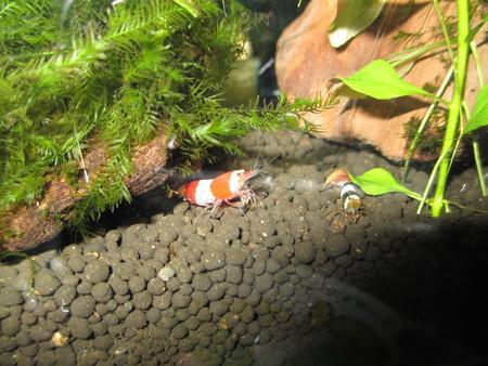 20121116 60cmエビ水槽のビー達