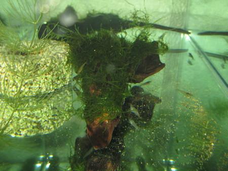 20121122 60cmベランダ水槽のヌマエビ