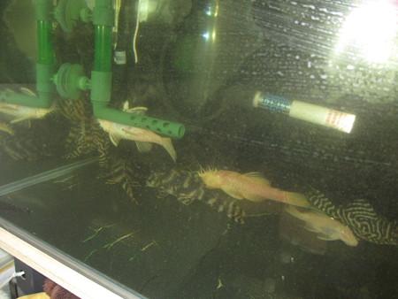 20121129 45cmプレコ水槽の掃除中