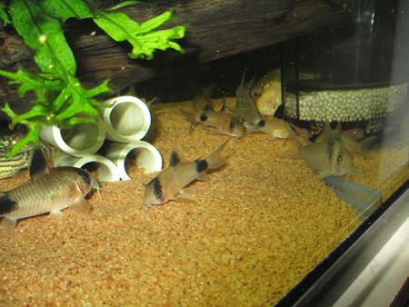 20130109 60cmコリドラス水槽のコリドラス達
