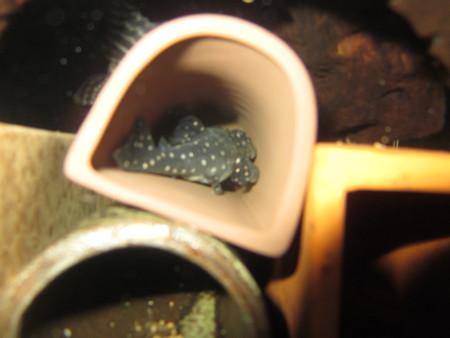 20130110 45cmプレコ水槽のファンシースポットペコルティア