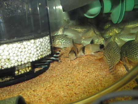 20130114 60cmコリドラス水槽のコリドラス達