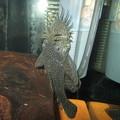 Photos: 20130223 45cmプレコ水槽のミニブッシー