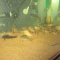 Photos: 20130224 60cmコリドラス水槽の掃除中