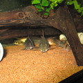 Photos: 20130301 60cmコリドラス水槽のコリドラス達