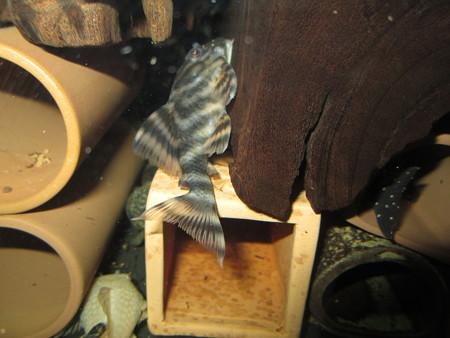 20130301 45cmプレコ水槽のマグダレナ フェイススポット タイガー ペコルティア