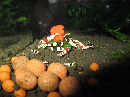 20130301 60cmエビ水槽のスクマイキの食い付き