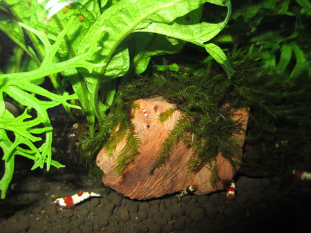20130304 60cmエビ水槽の稚エビ