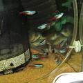 20130309 60cmコリドラス水槽のネオンテトラ