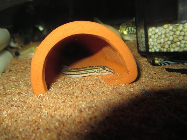 20130403 60cmコリドラス水槽のスジシマドジョウ
