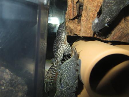 20130430 45cmプレコ水槽のキングロイヤルペコルティアとミニブッシー