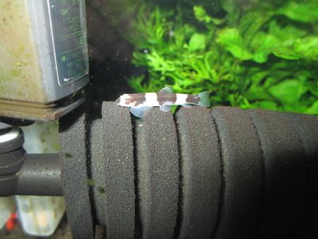 20130430 60cmエビ水槽のパンダシャークローチ