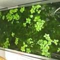 20130609 60cmベランダ水槽のマツモとアマフロ