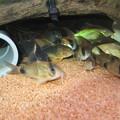 Photos: 20130809 60cmコリドラス水槽のコリドラス達