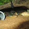 Photos: 20130810 60cmコリドラス水槽のコリドラス達